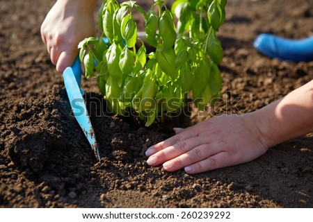 Woman with garden shovel at planting basil - stock photo