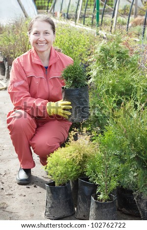 woman with thuja sprouts in pots  at plant - stock photo