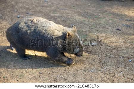 Wombat - stock photo
