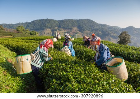Women from Thailand breaks tea leaves on tea plantation - stock photo