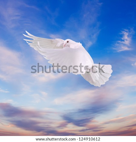 women's hands  released  into the sky to the sun a white dove - stock photo