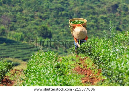 Women with conical hat are harvesting tea leaf in Bao Loc, Lam Dong province, Vietnam. There are many tea fields in the countryside of Bao Loc, Lam Dong. - stock photo