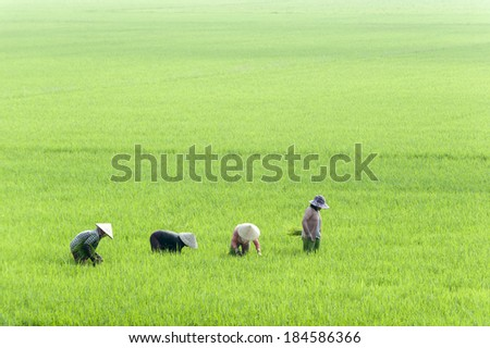 Women with conical hat working in the rice field, Mekong Delta, southern Vietnam. - stock photo