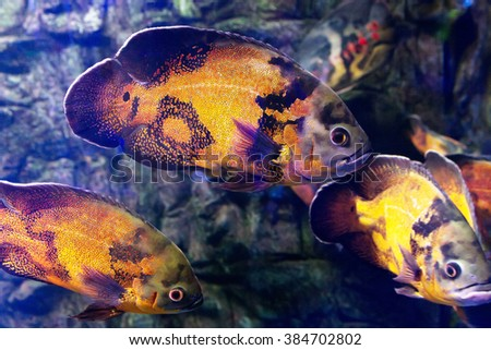 Wonderful and beautiful underwater world with corals and tropical fish. Beautiful fishes in water tank. Close up tropical fish underwater. Fishes with red and gold colors. - stock photo