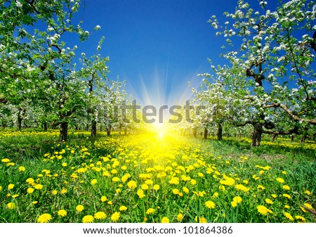 Wonderful apple-trees garden  by  springtime. - stock photo