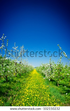 Wonderful apple-trees garden  by  springtime.