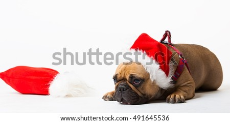 Wonderful beige dog French Bulldog, has red Christmas hat, gift bag. New Year holiday card. Little Santa Claus. Winter snow background. Close up. Animals life. White isolated.