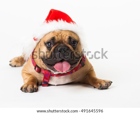 Wonderful beige dog French Bulldog, has red Christmas hat. New Year holiday card. Little Santa Claus. Winter snow background. Close up. Animals life. White isolated.