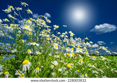 Wonderful camomiles,sunbeams against blue sky background.