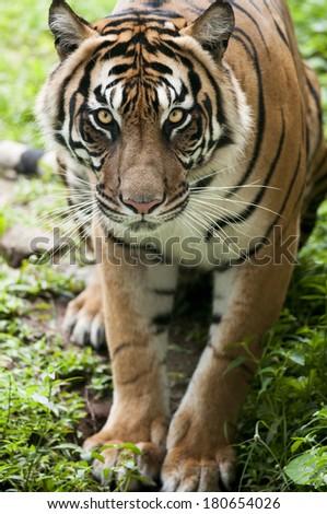 Wonderful endangered species, Sumatran Tiger. - stock photo