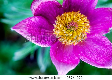 Wonderful pink Clematis blooming close-up outdoors. - stock photo