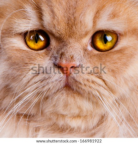 Wonderful red persian cat close up with intense yellow eyes. - stock photo