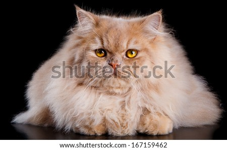 Wonderful red persian cat portrait with intense yellow eyes and looking to the camera. - stock photo