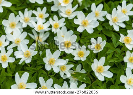 Wood Anemone flowers in early Spring. - stock photo