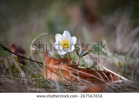 wood anemone outdoors in early spring - stock photo