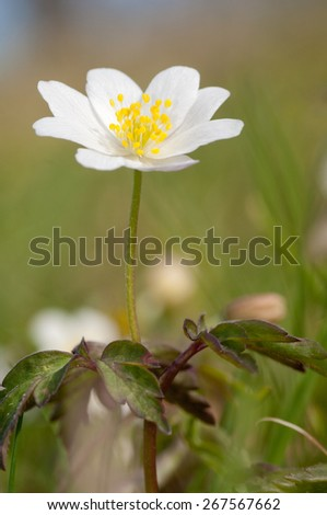 wood anemone with unfocused background - stock photo