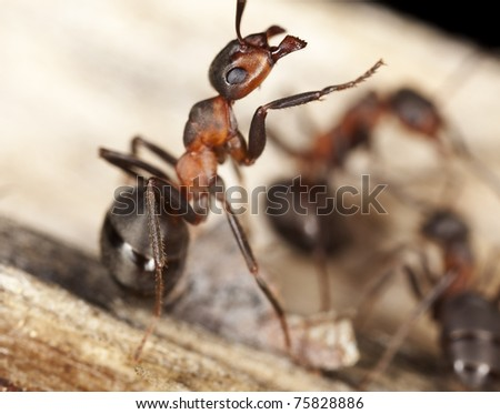 Wood ants, Formica  extreme close up with high magnification, this ant is often a pest in houses - stock photo