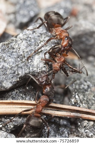 Wood ants, Formica pulling dead ant each side, extreme close-up with high magnification