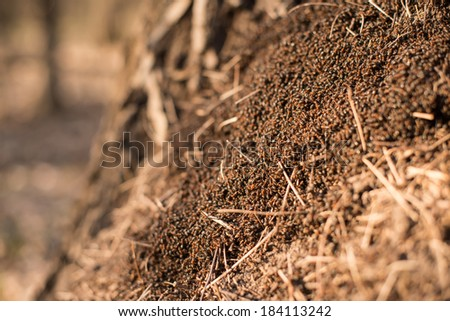 Wood ants (Formica rufa) in the anthill macro photo, big anthill close up, ants moving in the anthill, selective focus - stock photo