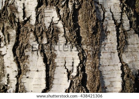 Wood bark texture background. A closeup of birch tree trunk.  Background.