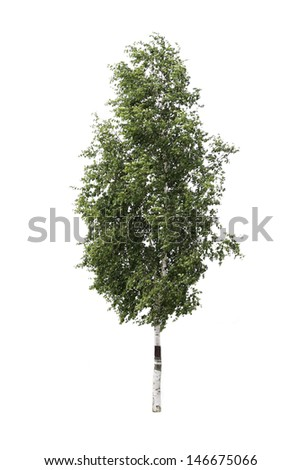 wood birch background white green one young fresh spring summer - stock photo