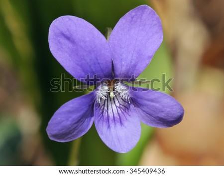 Wood Dog Violet - Viola reichenbachiana - stock photo