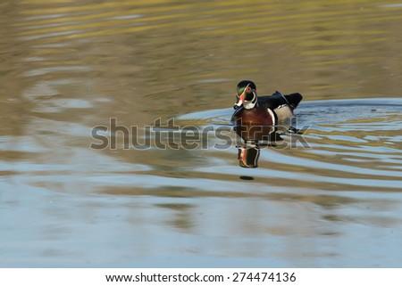 Wood Duck - stock photo