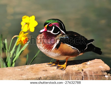 Wood duck (Aix sponsa) standing near two daffodils. It's great baked!