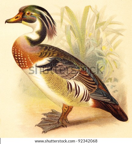 Wood Duck (Aix sponsa) / vintage illustration from Meyers Konversations-Lexikon 1897 - stock photo