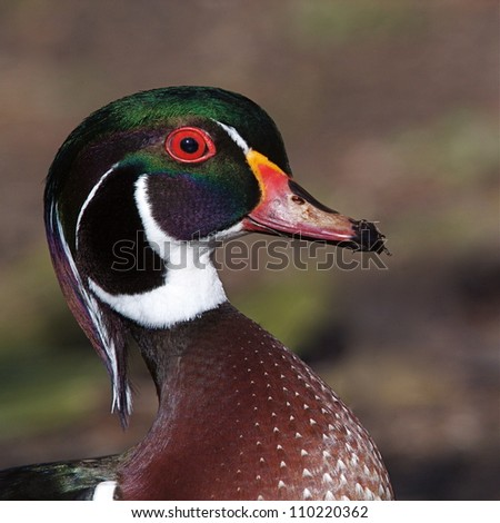 Wood Duck drake; highly detailed, colorful portrait; North Chagrin Reservation (park), Mayfield Village, Ohio, near Cleveland - stock photo