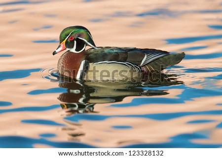 Wood duck or Carolina duck (Aix sponsa) on colorful pond - stock photo