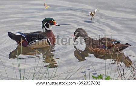 wood ducks courtship - stock photo