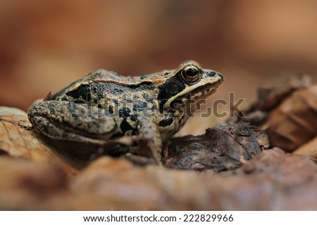 wood frog (Rana sylvatica)  - stock photo