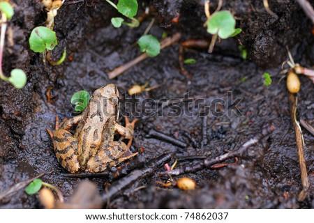 Wood Frog Rana sylvatica - stock photo