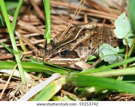Wood Frog (Rana sylvatica) in the northwoods of Wisconsin - stock photo