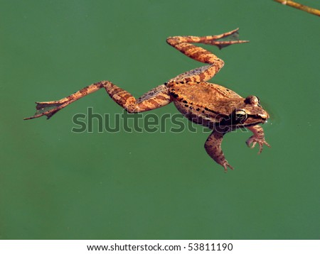 Wood Frog, Rana Sylvatica  Known as a freeze-tolerant species. - stock photo