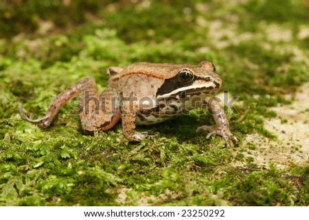 Wood frog (Rana sylvatica) on moss - stock photo