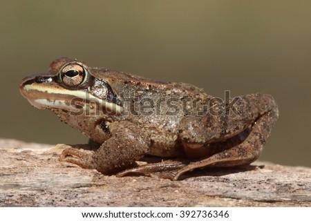Wood Frog (Rana sylvatica) ssunning on a log - stock photo