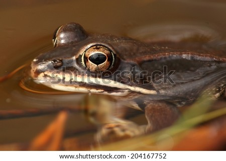 Wood Frog (Rana sylvatica) swimming in a pond - stock photo