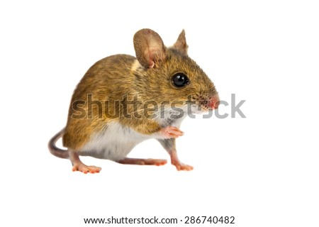 Wood mouse (Apodemus sylvaticus) with cute brown eyes looking in the camera on white background - stock photo
