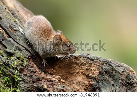 Wood Mouse on a stump