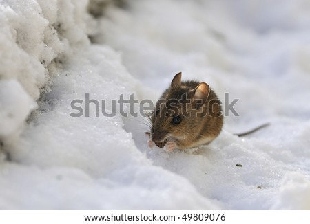 Wood Mouse or Long-tailed Field Mouse feeding in snow - Apodemus sylvaticus