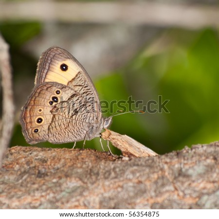 Wood nymph Butterfly resting on tree trunk