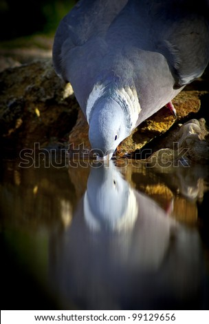 Wood-pigeon - stock photo