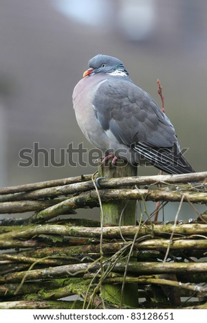 wood pigeon(columba palumbus) on a wooden fence in a winter garden - stock photo