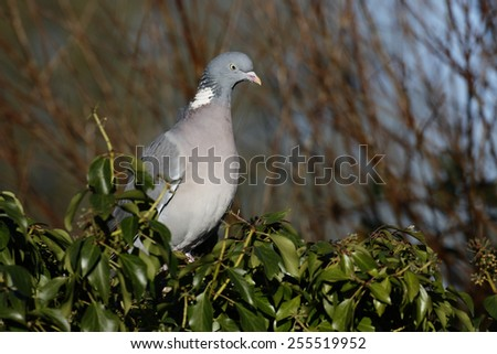 Wood pigeon, Columba palumbus, single bird on branch, Warwickshire, January 2015      - stock photo