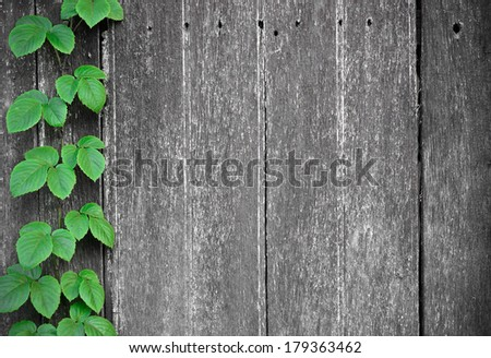 wood plank wall texture with vine at the edge / green leaves on wood plank wall - stock photo