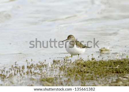 Wood sandpiper searching for food in marshy wetlands