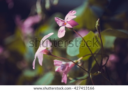 wood sorrel light pink flower close up with stem and leaf - stock photo
