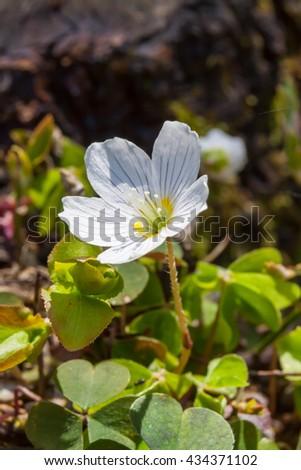 Wood sorrel Oxalis acetosella - stock photo